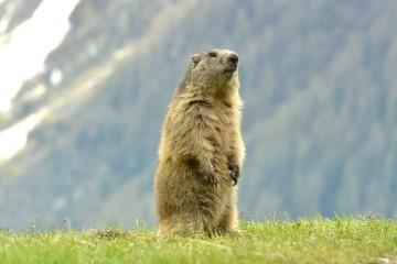 marmotte2